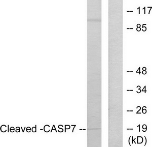 CASP7 (Cleaved-Asp198) Antibody (OAAF05318) in Jurkat cells using Western Blot