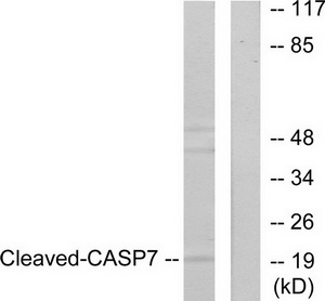 CASP7 (Cleaved-Asp198) Antibody (OAAF05319) in 293 cells using Western Blot