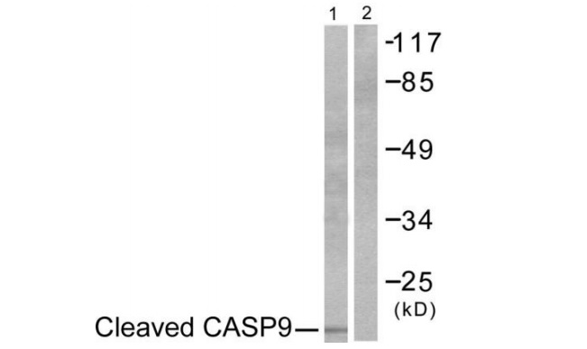 CASP9 (Cleaved-Asp353) Antibody (OAAF05320) in NIH-3T3 cells using Western Blot