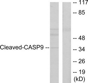 CASP9 (Cleaved-Asp330) Antibody (OAAF05322) in HeLa cells using Western Blot