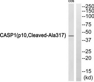 CASP1 (p10, Cleaved-Ala317) Antibody (OAAF05335) in COS7 cells using Western Blot