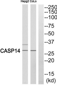 CASP14 (p10, Cleaved-Lys222) Antibody (OAAF05337) in COLO, HepG2 cells using Western Blot