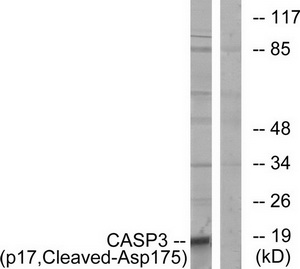 CASP3 (p17, Cleaved-Asp175) Antibody (OAAF05340) in COLO cells using Western Blot