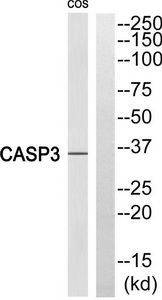 CASP3 (Cleaved-Ser29) Antibody (OAAF05341) in COS 7 cells using Western Blot