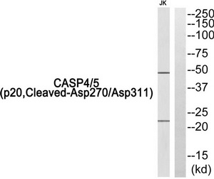 CASP4 (p20, Cleaved-Asp270/Asp311) Antibody (OAAF05343) in Jurkat cells using Western Blot