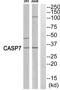 CASP7 (p11, Cleaved-Ala207) Antibody (OAAF05346) in 293, A549 cells using Western Blot