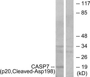 CASP7 (p20, Cleaved-Asp198) Antibody (OAAF05347) in Jurkat cells using Western Blot