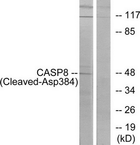 CASP8 (Cleaved-Asp384) Antibody (OAAF05348) in 293 cells using Western Blot