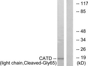 CTSD (light chain, Cleaved-Gly65) Antibody (OAAF05350) in COS-7 cells using Western Blot