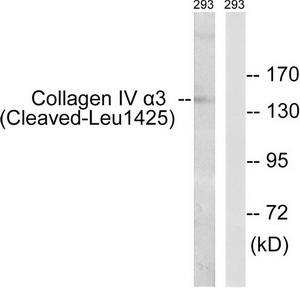 COL4A3 (Cleaved-Leu1425) Antibody (OAAF05364) in 293 cells using Western Blot