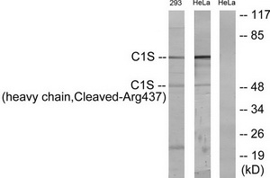 C1S (heavy chain, Cleaved-Arg437) Antibody (OAAF05368) in 293 cells using Western Blot