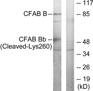 CFB (Cleaved-Lys260) Antibody (OAAF05369) in K562 cells using Western Blot