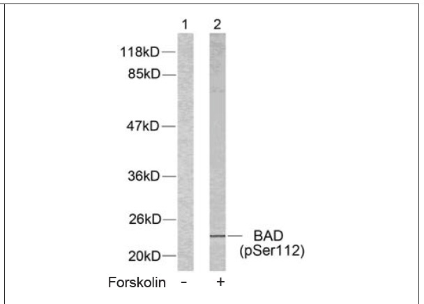 BAD (Phospho-Ser112) Antibody (OAEC00066) in 293 cells using Western Blot