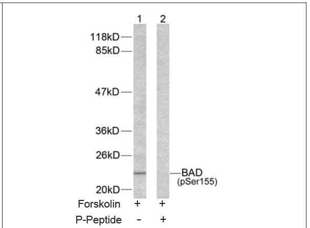 BAD (Phospho-Ser155) Antibody (OAEC00068) in 293 cells using Western Blot