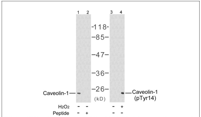 Caveolin-1 (Phospho-Tyr14) Antibody (OAEC00089) in NIH-3T3 cells using Western Blot