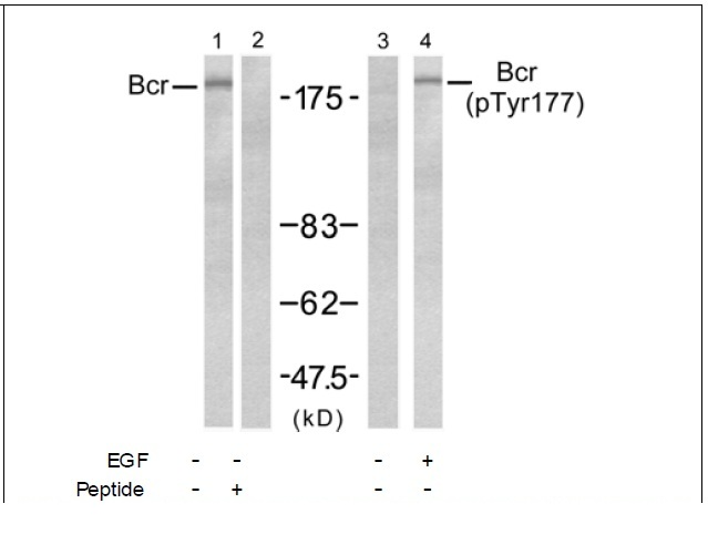 Bcr (Phospho-Tyr177) Antibody (OAEC00187) in A431 cells using Western Blot