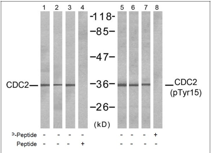 CDC2 (Phospho-Tyr15) Antibody (OAEC00224) in COLO, HepG2, K562 cells using Western Blot