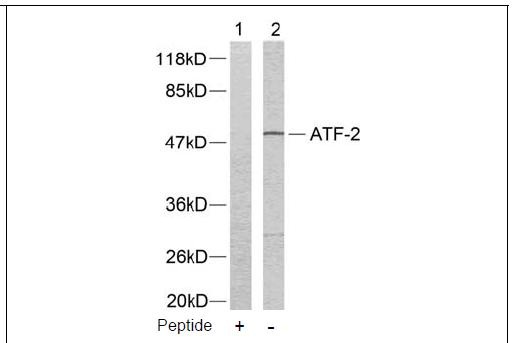 ATF-2 (Ab-73 or 55) Antibody (OAEC00382) in LOVO cells using Western Blot