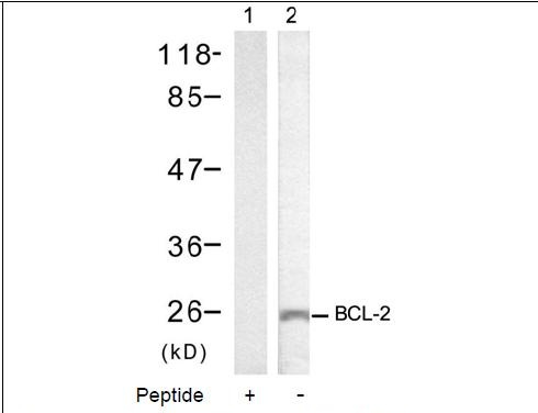 BCL-2 (Ab-70) Antibody (OAEC00410) in MCF-7 cells using Western Blot