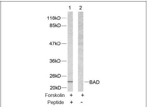 BAD (Ab-112) Antibody (OAEC00412) in 293 cells using Western Blot