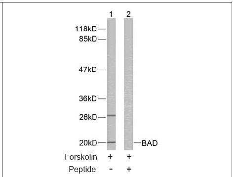 BAD (Ab-136) Antibody (OAEC00413) in 293 cells using Western Blot