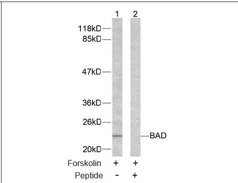 BAD (Ab-155) Antibody (OAEC00414) in 293 cells using Western Blot