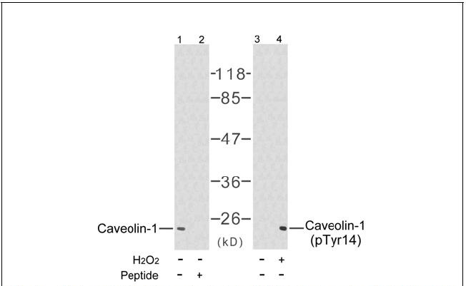 Caveolin-1 (Ab-14) Antibody (OAEC00461) in NIH-3T3 cells using Western Blot