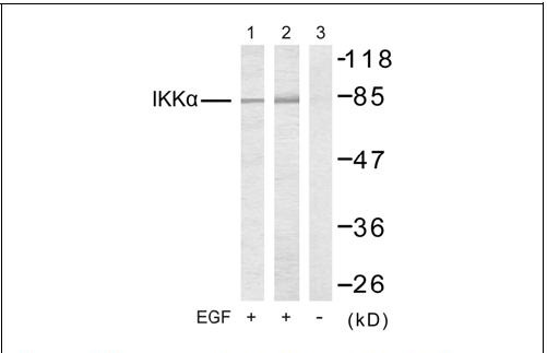 IKKα (Ab-23) Antibody (OAEC00471) in 293 cells using Western Blot