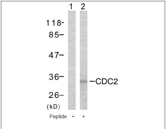CDC2 (Ab-161) Antibody (OAEC00497) in COLO cells using Western Blot