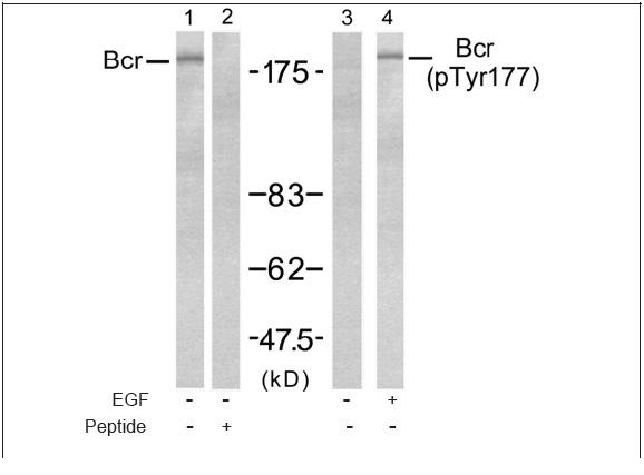 Bcr (Ab-177) Antibody (OAEC00538) in A431 cells using Western Blot