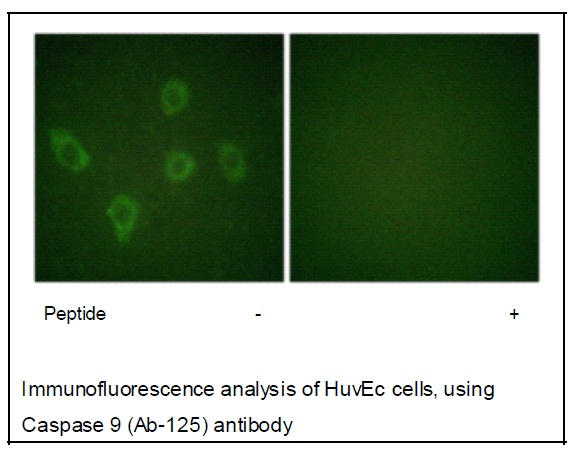 Caspase 9 (Ab-125) Antibody (OAEC01494) in HUVEC cells using Immunofluorescence