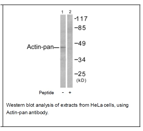 Actin-pan Antibody (OAEC01543) in Human Hela cells using Western Blot