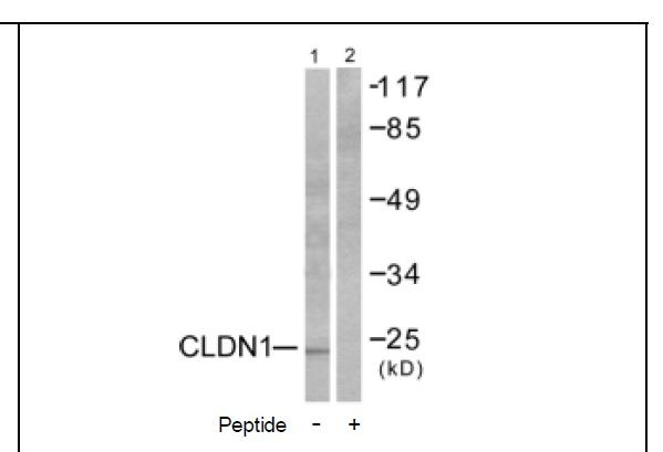 Claudin 1 Antibody (OAEC01564) in Human Hela cells using Western Blot