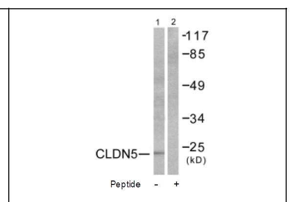 Claudin 5 Antibody (OAEC01568) in A549 cells using Western Blot