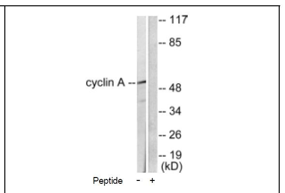 Cyclin A Antibody (OAEC01599) in COS-7 cells using Western Blot