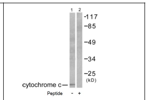 Cytochrome c Antibody (OAEC01607) in COS-7 cells using Western Blot