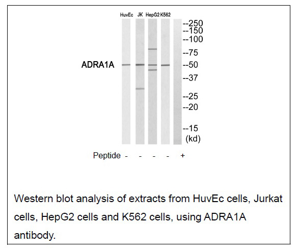 ADRA1A Antibody (OAEC01720) in HUVEC cells using Western Blot