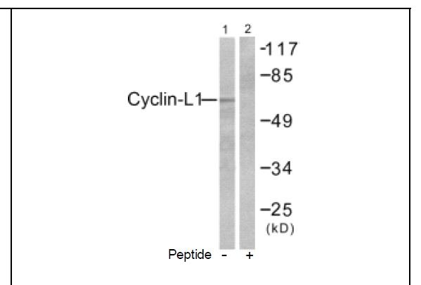 Cyclin-L1 Antibody (OAEC01761) in HepG2 cells using Western Blot