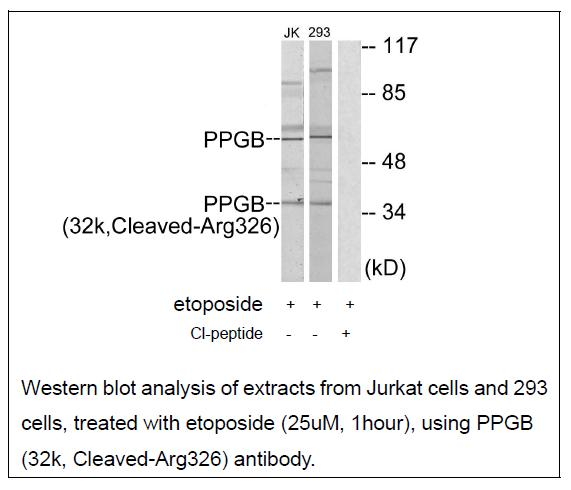 PPGB (32k,Cleaved-Arg326) Antibody (OAEC01782) in Jurkat cells using Western Blot