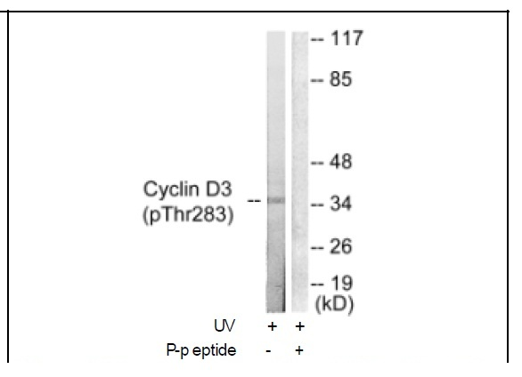 Cyclin D3 (Phospho-Thr283) Antibody (OAEC01895) in K562 cells using Western Blot