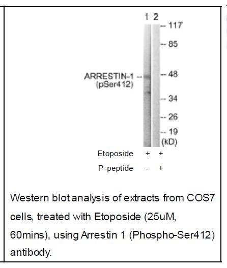 Arrestin 1 (Phospho-Ser412) Antibody (OAEC01914) in COS-7 cells using Western Blot