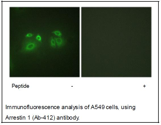 Arrestin 1 (Ab-412) Antibody (OAEC01915) in A549 cells using Immunofluorescence