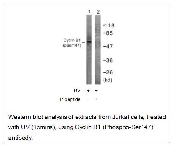 Cyclin B1 (Phospho-Ser147) Antibody (OAEC01962) in Jurkat cells using Western Blot