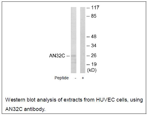 AN32C Antibody (OAEC02080) in HUVEC cells using Western Blot