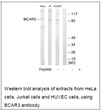 BCAR3 Antibody (OAEC02120) in Human Hela cells using Western Blot