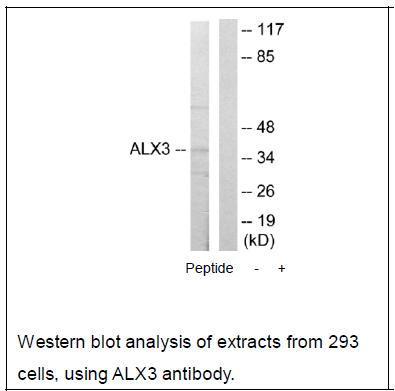 ALX3 Antibody (OAEC02131) in 293 cells using Western Blot