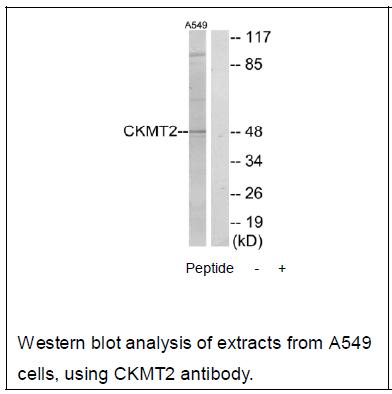 CKMT2 Antibody (OAEC02209) in A549 cells using Western Blot