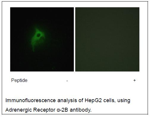 Adrenergic Receptor α-2B Antibody (OAEC02215) in HepG2 cells using Immunofluorescence