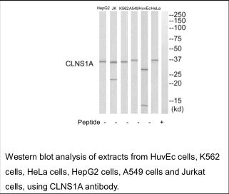 CLNS1A Antibody (OAEC02675) in HUVEC cells using Western Blot