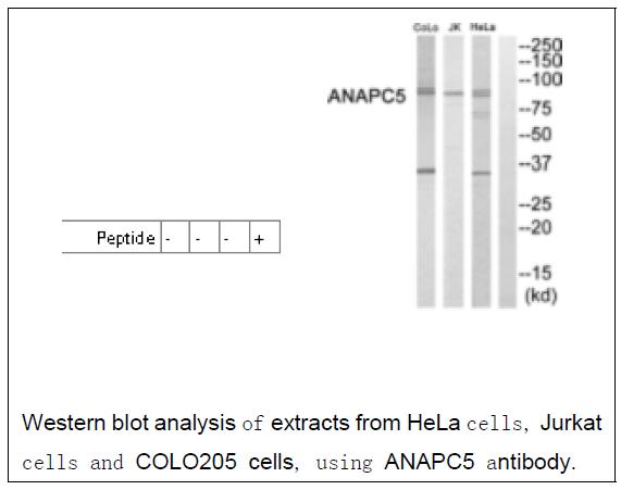ANAPC5 Antibody (OAEC03319) in Human Hela cells using Western Blot